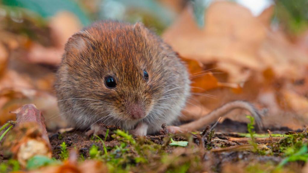 SPRER MUSEPEST: Musepest smitter via avføring fra mus, via luft, til mennesker. Foto: NTB Scanpix/Shutterstock