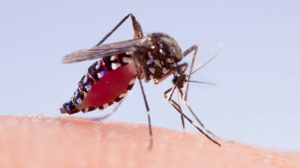 SMITTEBÆRER AV CHIKUNGUNYA: Asiatisk tigermygg (Aedes albopictus). En hunnmygg fylt med menneskeblod. Det er ved slike stikk man kan bli smittet med chikungunya virus.