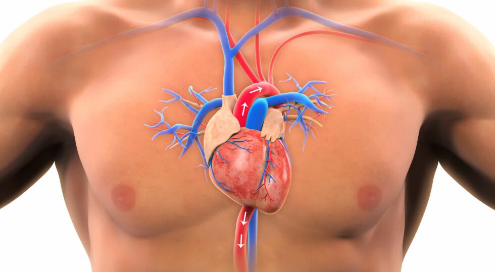 AORTA: Aorta er den store hovedpulsåren (rød) som frakter oksygenriktblod til resten av kroppen. Ved rift i aorta oppstår alvorlig sykdom. Foto: NTB Scanpix / Shutterstock