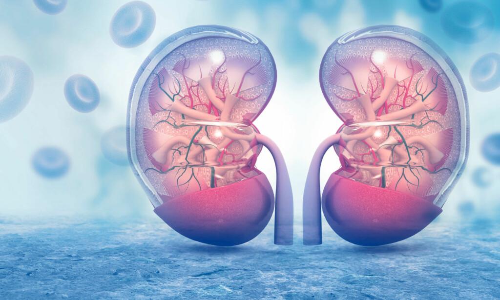 NYRENE: Illustrasjon som viser tverrsnitt av to friske nyrer. Kreft i nyrene er ofte nyrecellekarsinom som gir få symptomer. Illustrasjon: NTB Scanpåix / Shutterstock