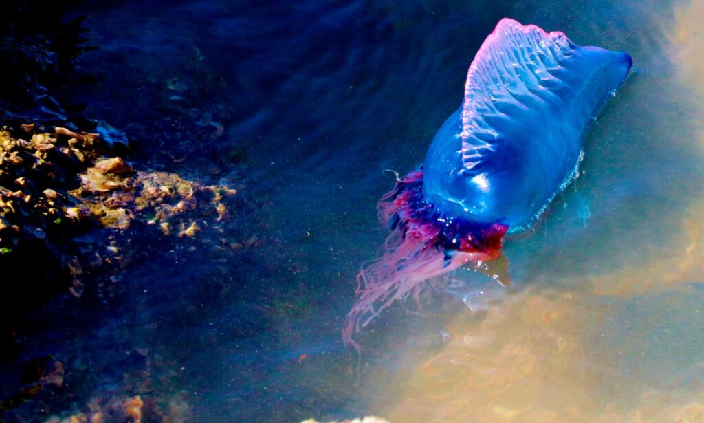 HOLD DEG UNNA: Møter du på et portugisisk krigsskip, husk at tentaklene - som er under vannet - ser du ikke, og de kan være flere meter lange. Den fargerike og vakre maneten bør derfor kun beundres på lang avstand. Foto: NTB Scanpix / Shutterstock