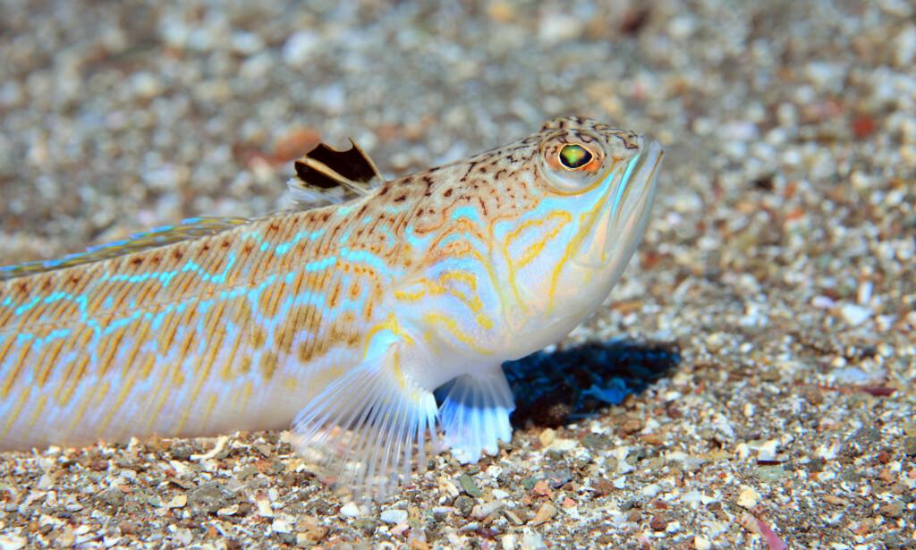 FJESING: Denne fisken ser kanskje ikke så farlig ut, men den er giftig, og om du kommer i kontakt med piggene, vil det føre til intense smerter. FOTO: NTB Scanpix