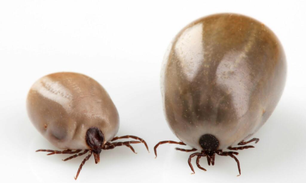 TO HUNNER ETTER DE HAR SUGD BLOD: Kroppen eser opp etter at hunnen har sugd blod, og insektet kan få en diameter på opp til 15 mm. Foto: NTB Scanpix/Shutterstock