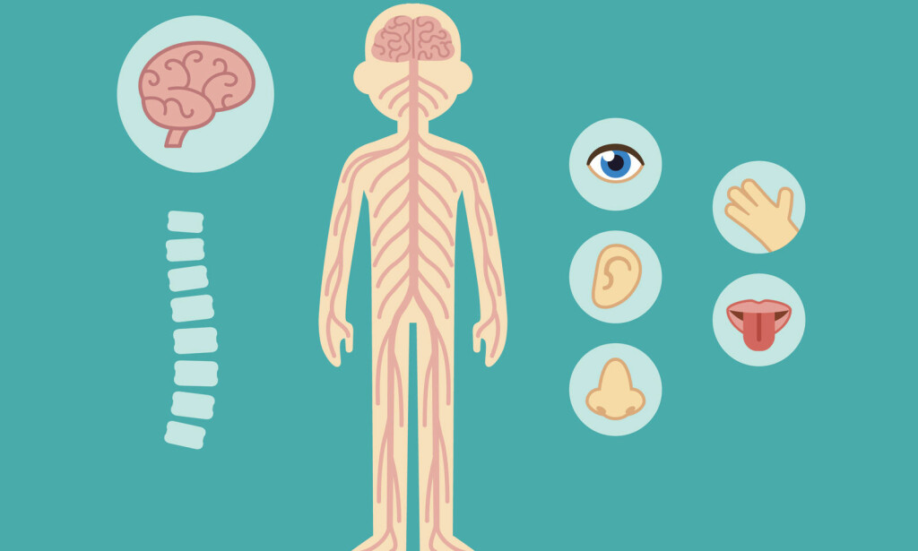 NERVESYSTEMET: Sanse, føle, oppfatte, tenke, reagere, bevege - alt avhenger av nervesystemet ditt. Illustrasjon: NTB Scanpix/Shutterstock