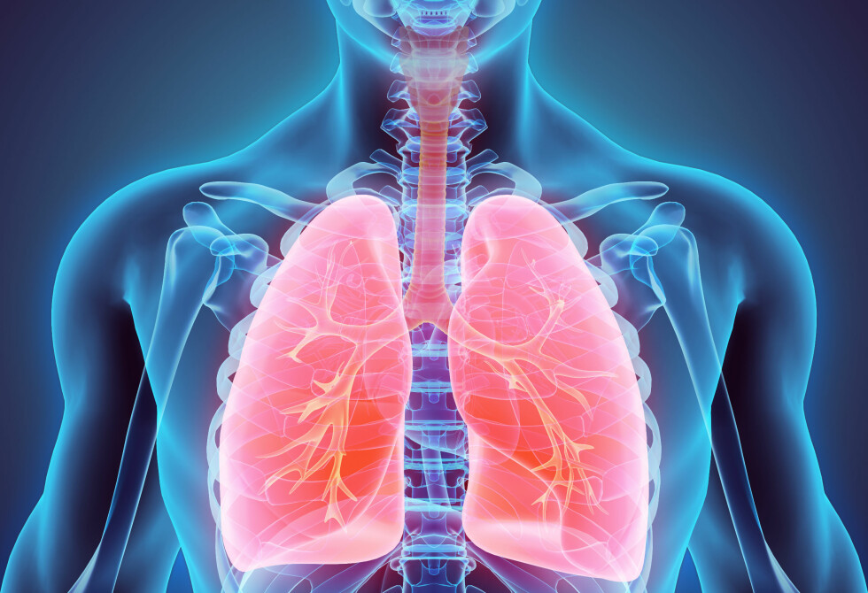 LUNGER: Hovedoppgaven til lungene er gassutveksling. Mange sykdommer kan ramme luftveiene: Astma, KOLS, lungekreft, lungebetennelse med flere. Foto: NTB / Scanpix / Shutterstock.