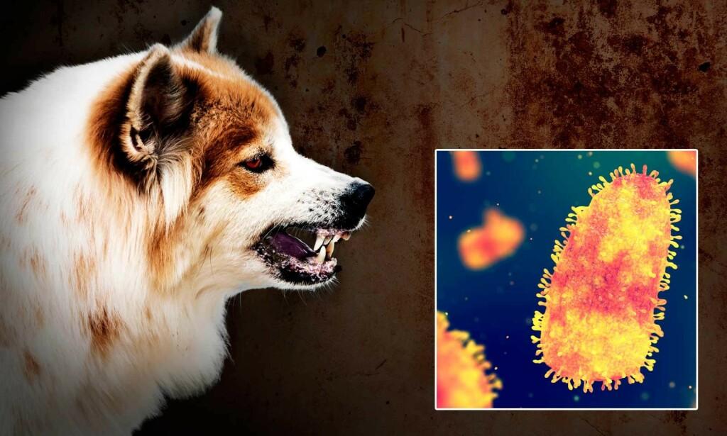 RABIESVIRUS: Rabiesvirus kan overføres via bitt fra smittede dyr. Fotomontasje med bilder fra NTB Scanpix/Shutterstock