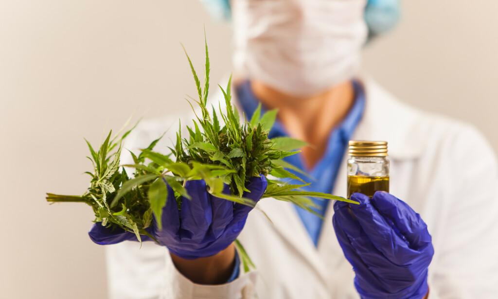 Cannabis er verdens mest populære rusmiddel. Hvor farlig er det egentlig? Fører bruk av cannabis til bruk av tyngre narkotiske stoffer? Foto: NTB / Shutterstock.