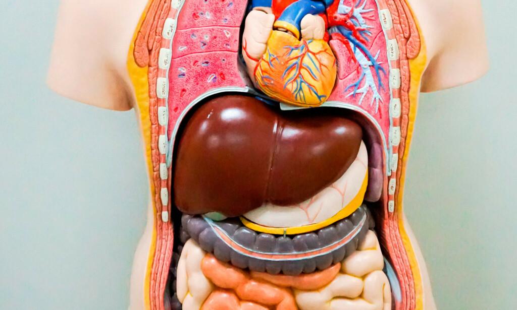 LEVEREN: Antamoisk modell. Leveren er den rød-brunfargede organet, plassert øverst til høyre i magen. Foto: NTB Scanpix/Shutterstock