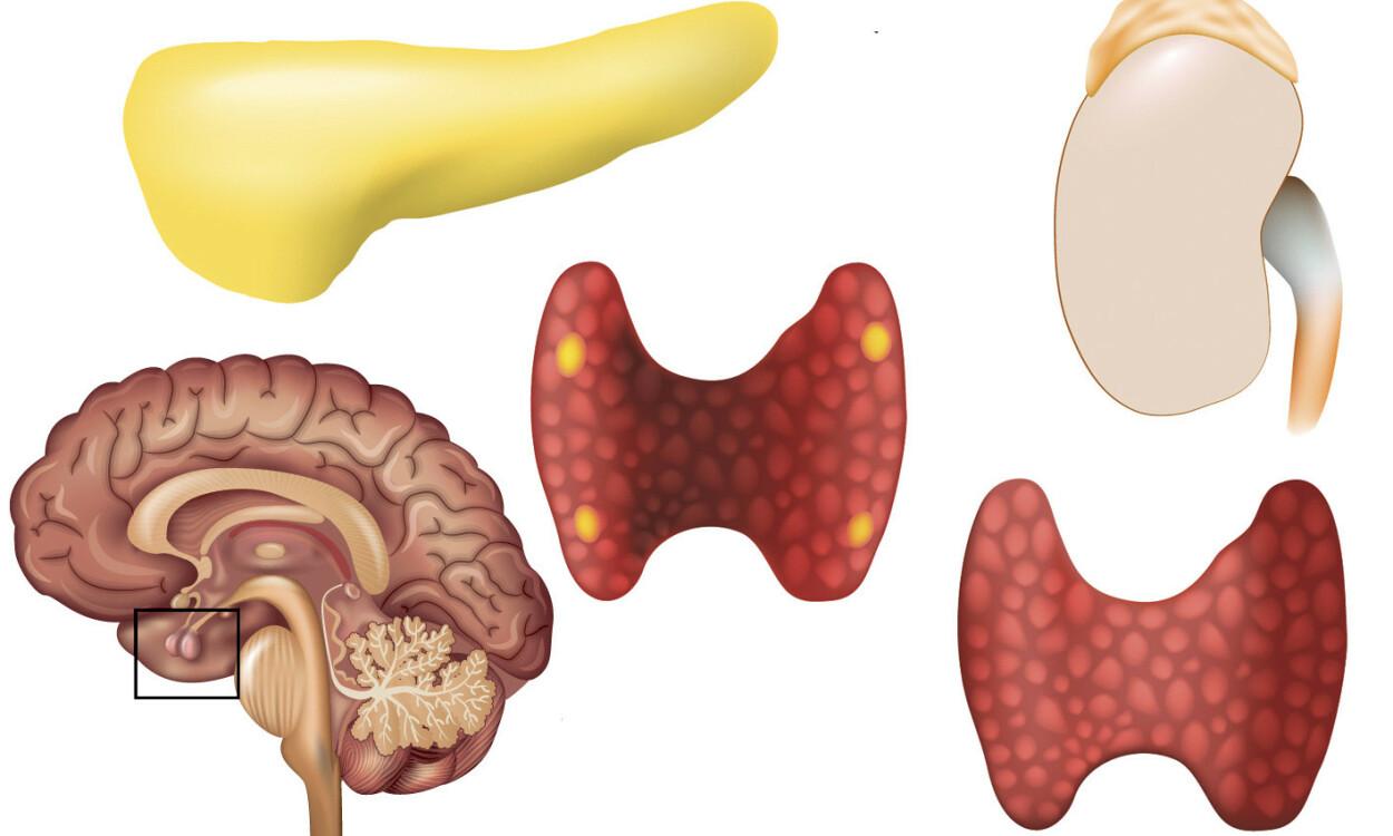 HORMONPRODUSERENDE ORGANER: Ved MEN får man svulster i bukspyttkjertelen, skjoldbruskkjertelen, biskjoldbruskkjertlene, binyrene eller hypofysen. Foto: NTB Scanpix/Shutterstock.