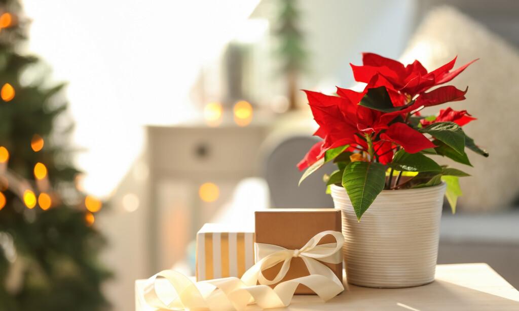 JULESTJERNE: Planten er en av Norges mest populære planter i juletida. Foto: Shutterstock / NTB Scanpix