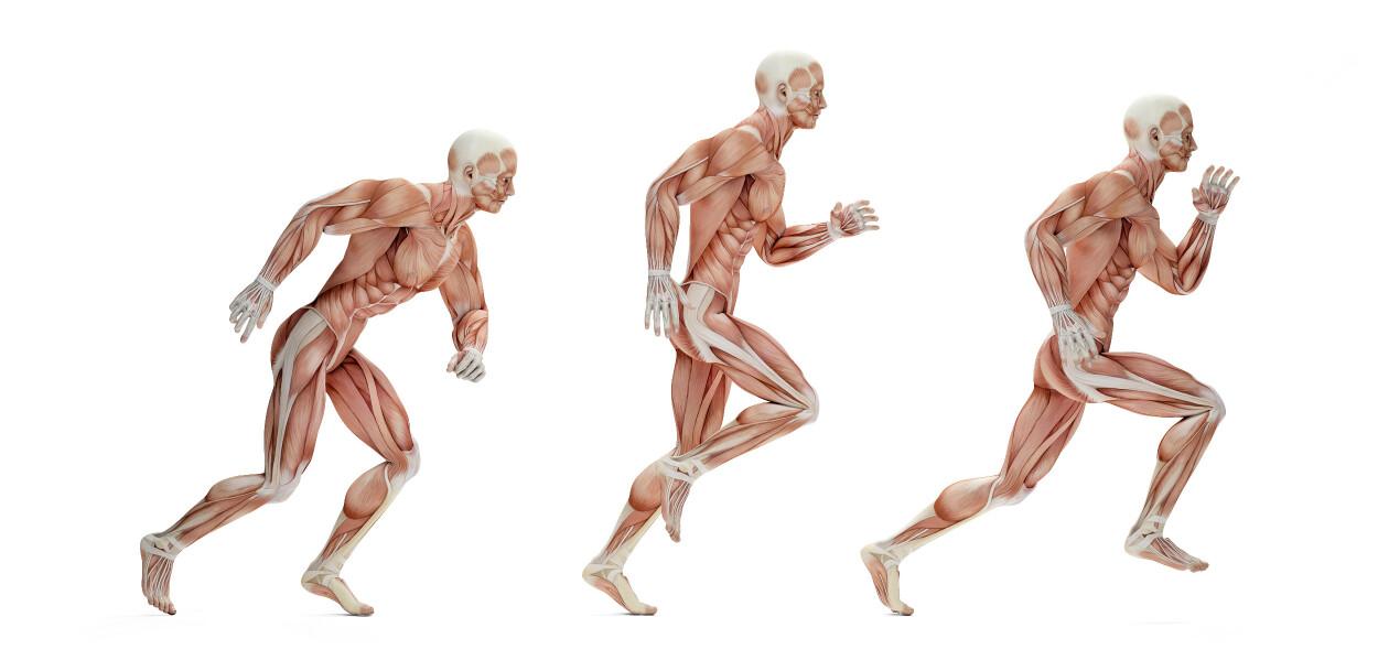 LØPING: Bildet viser deler av kroppens muskulatur i de forskjellige stegene i en løpesyklus. Foto: kirill_makarov / Shutterstock / NTB
