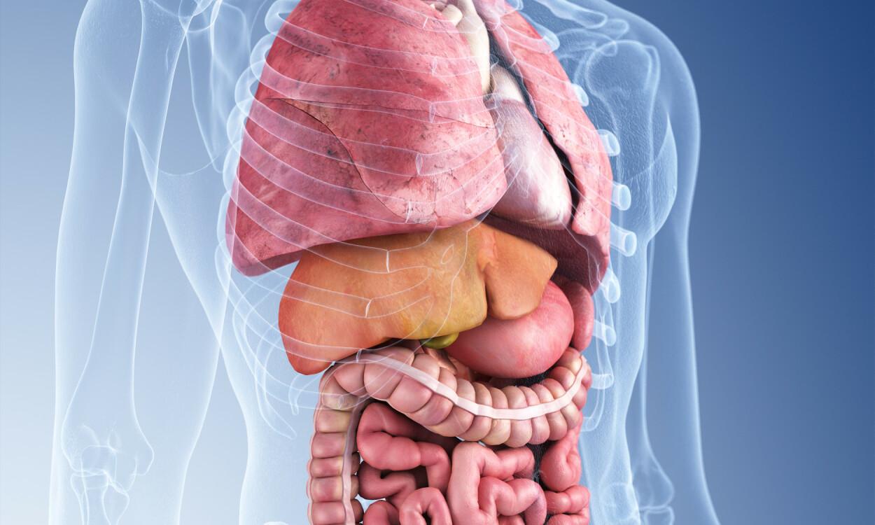 INDRE ORGANER UNDER RIBBEINSBUEN: Illustrasjonsbildet viser de indre organene som ligger under de høyre ribbeina. Foto: SciePro / Shutterstock / NTB